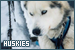 Mammals: Canines - Dogs: Huskies