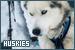 Mammals: Canines - Dogs: Huskies
