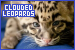 Mammals: Felines - Clouded Leopards