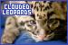 Mammals: Felines - Clouded Leopards