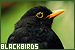 Birds - Blackbirds