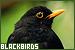 Birds - Blackbirds