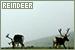 Mammals: Other Herbivores - Reindeer