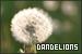 Plants/Flowers/Herbs - Dandelions