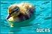 Birds - Ducks