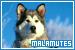 Mammals: Canines - Dogs: Alaskan Malamutes