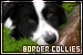 Mammals: Canines - Dogs: Border Collies