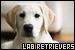 Mammals: Canines - Dogs: Labrador Retrievers