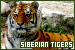 Mammals: Felines - Tigers: Siberian