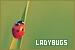 Invertebrates - Ladybugs (Ladybirds)