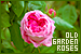 Nature: Plants/Flowers/Herbs - Old Garden Roses