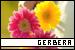 Plants/Flowers/Herbs - Gerbera