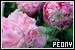 Plants/Flowers/Herbs - Peony